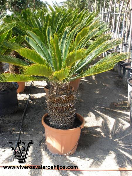 cycas reticulata palmacea viveros