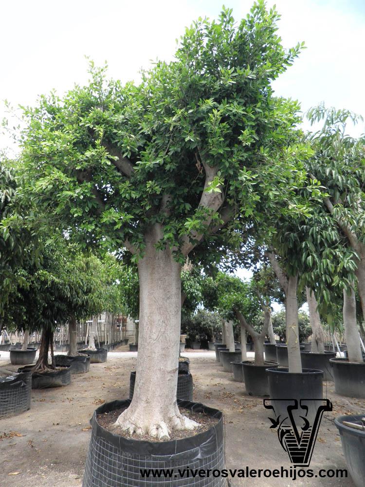 Ficus ornamentales viveros valero e hijos for Viveros ornamentales