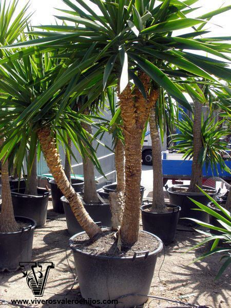 viveros palmacea elephantipes yucca