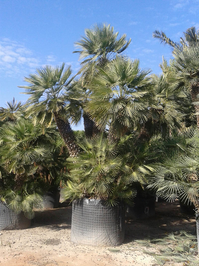 chamaerops humilis palm or palmerita viveros valero e hijos. Black Bedroom Furniture Sets. Home Design Ideas