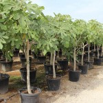 Ficus carica 15-20