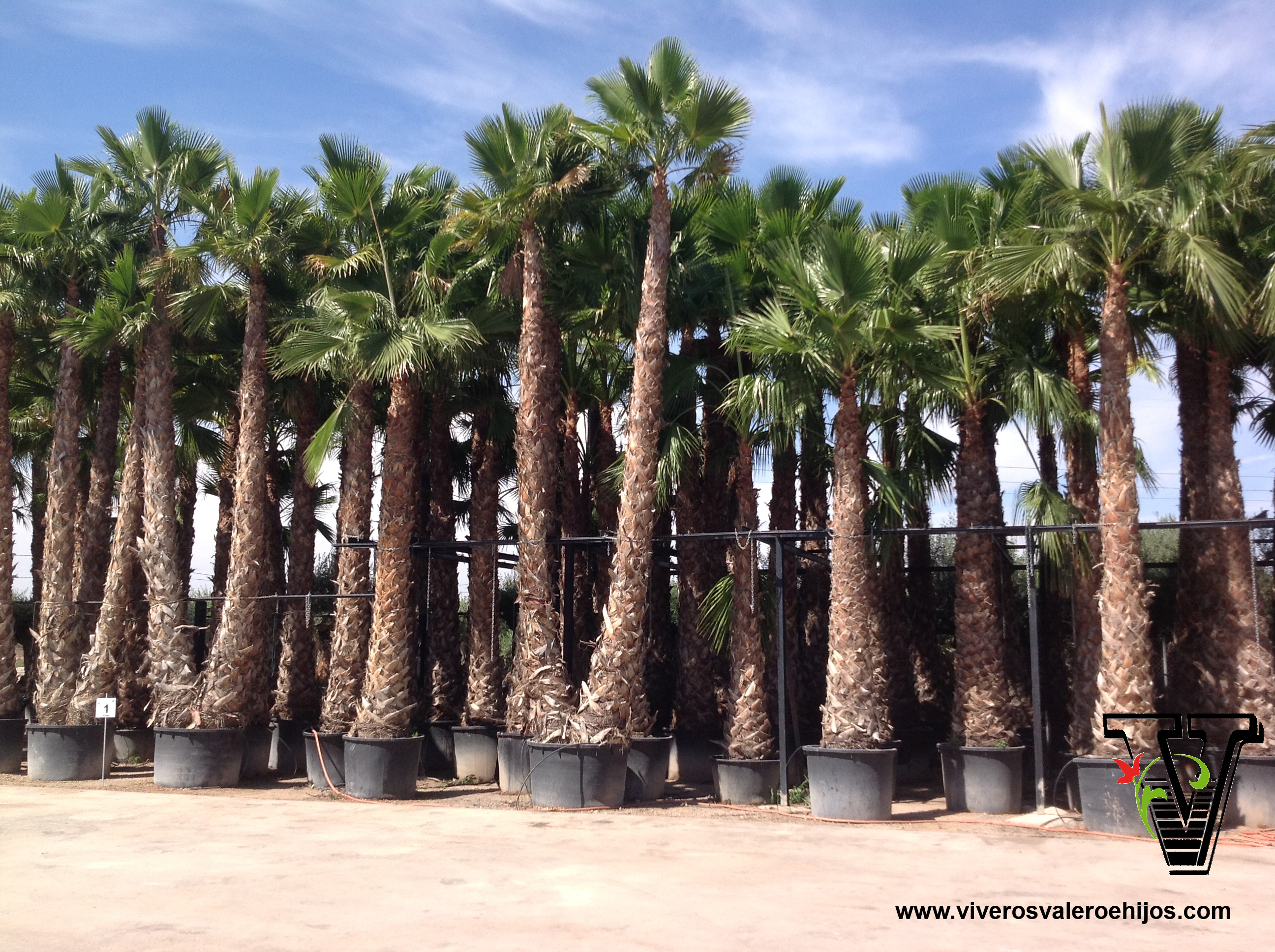 viveros washingtonia robusta palmacea