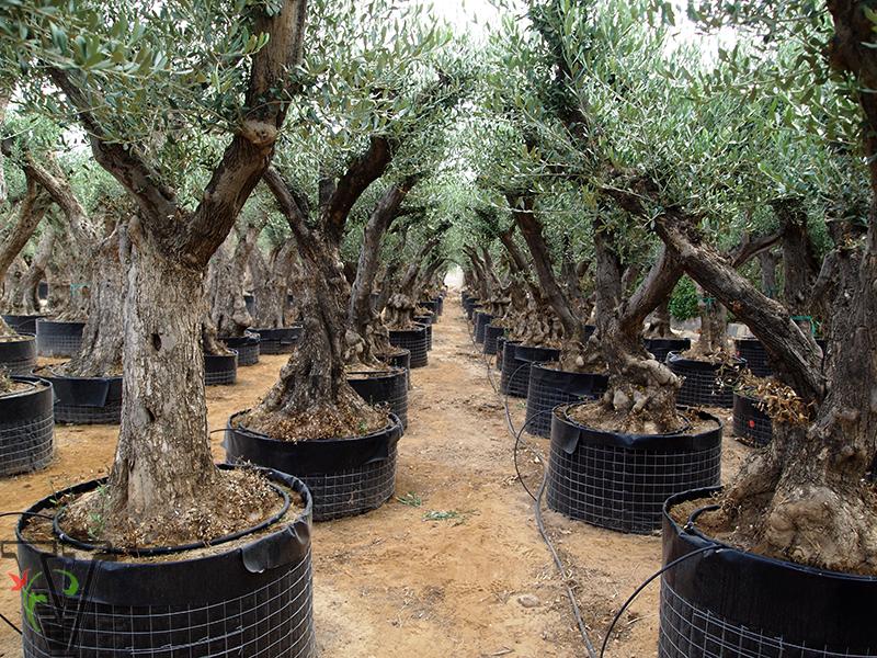 Olea europaea oliviers viveros valero e hijos sl - Comment tailler un yucca ...