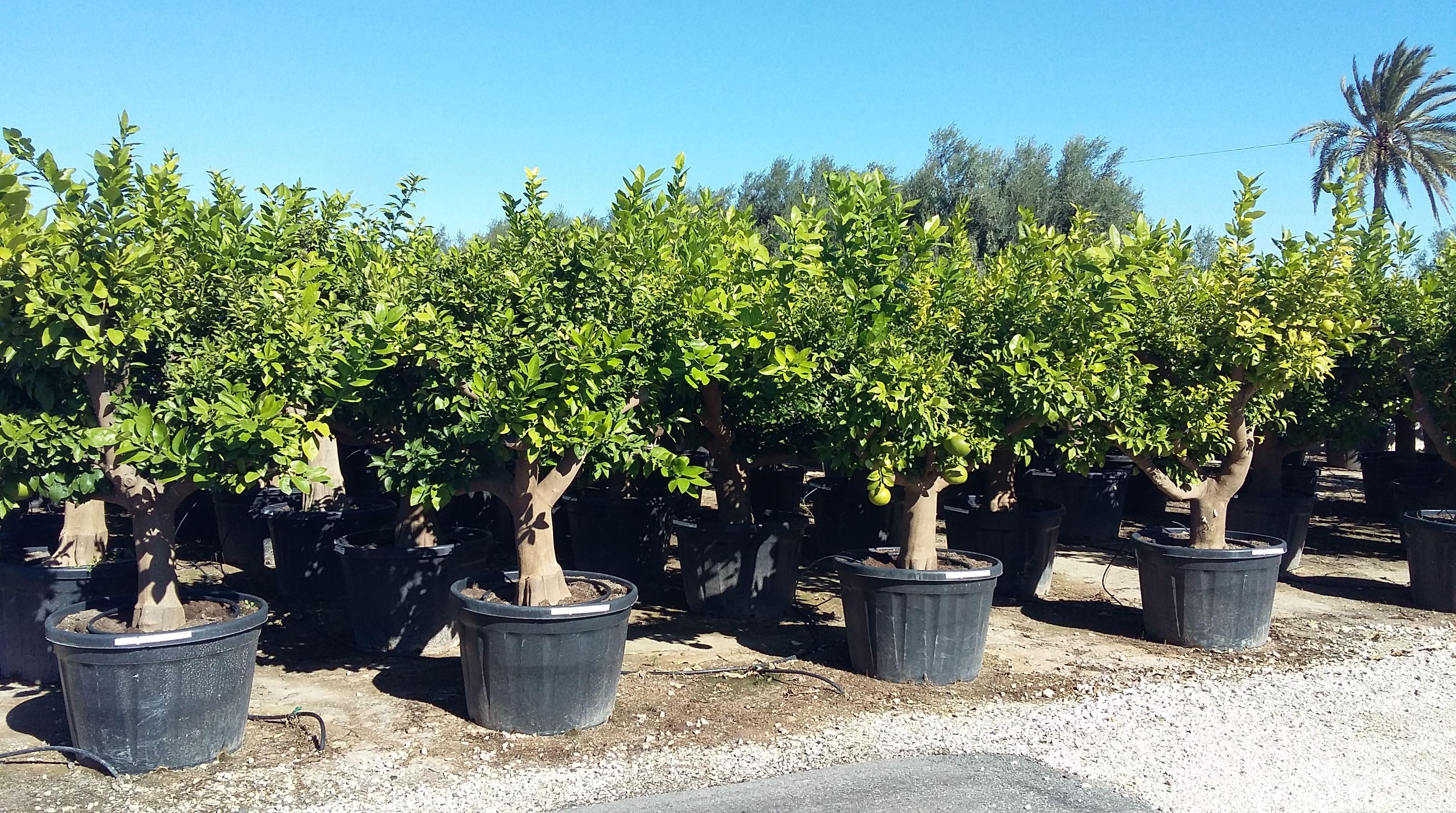Citrus Paradisi - Pomelos - Viveros Valero e Hijos